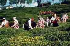 Tea plantations and harvest